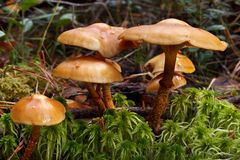 Cogumelos de Webcap Foto de Stock Royalty Free