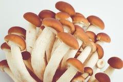 Cogumelos do aegerita de Agrocybe Fotografia de Stock