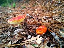 Cogumelos do agaric de mosca Fotografia de Stock Royalty Free