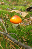 Cogumelos do agaric de mosca Fotos de Stock Royalty Free