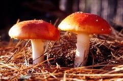 Cogumelos do Agaric de mosca em agulhas do pinho Imagem de Stock