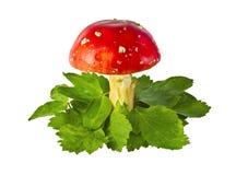 Cogumelos do agaric de mosca entre as folhas Fotos de Stock