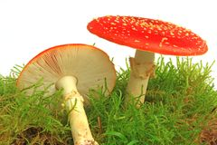 Cogumelos do Agaric de mosca (muscaria do amanita) Imagens de Stock