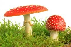 Cogumelos do Agaric de mosca (muscaria do amanita) Foto de Stock Royalty Free