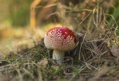 Cogumelos do agaric de mosca na floresta do outono Foto de Stock Royalty Free