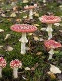 Cogumelos do agaric de mosca ou do amanita de mosca Fotos de Stock