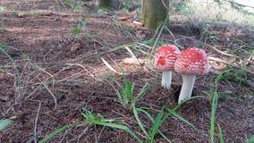 Cogumelos do agaric de mosca sob abeto Imagens de Stock Royalty Free