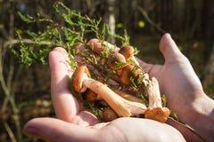 Cogumelos do agaric do mel nas palmas ensolarados Foto de Stock