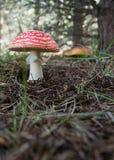 Cogumelos do Agaric e do boleto de mosca no pinho Imagens de Stock