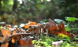 Cogumelos do bebê e folhas do carvalho Fotos de Stock