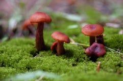 Cogumelos do boleto de Reyes do ponto imagens de stock