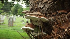 Cogumelos do cemitério fotos de stock royalty free