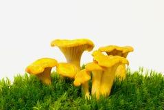 Cogumelos do cogumelo da prima Imagem de Stock Royalty Free