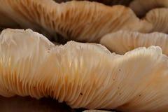 Cogumelos do coto de árvore Foto de Stock Royalty Free