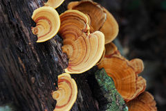 Cogumelos do fungo na madeira Imagem de Stock Royalty Free