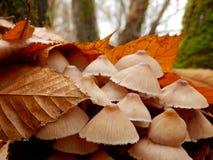 Cogumelos do inclinata de Mycena Fotos de Stock Royalty Free
