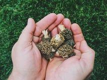 Cogumelos do Morel Imagens de Stock Royalty Free