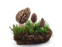 Cogumelos do Morel isolados Fotografia de Stock Royalty Free