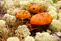 Cogumelos do outono Imagem de Stock