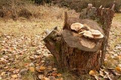 Cogumelos do outono em torno de um coto velho outono no jardim Coto de árvore velho da maçã Imagem de Stock