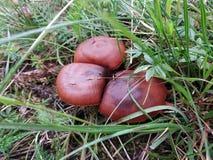 Cogumelos do Russula imagens de stock royalty free