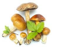 Cogumelos do ` s da floresta Imagens de Stock