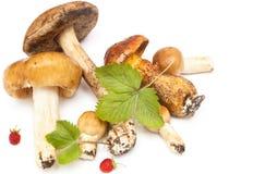 Cogumelos do ` s da floresta Fotos de Stock Royalty Free
