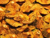 Cogumelos do tampão do leite do açafrão ou do pinho vermelho Foto de Stock Royalty Free