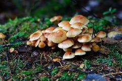 Cogumelos do topete do enxôfre Imagens de Stock Royalty Free