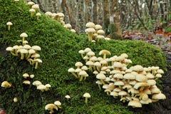 Cogumelos do topete do enxofre Fotografia de Stock Royalty Free