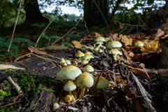 Cogumelos do topete do enxofre (fasciculare de Hypholoma) Fotografia de Stock Royalty Free