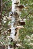Cogumelos do vidoeiro de papel Imagem de Stock