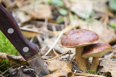 Cogumelos dos tribos Fotos de Stock Royalty Free
