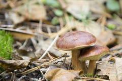 Cogumelos dos tribos Imagens de Stock Royalty Free