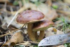 Cogumelos dos tribos na floresta do outono Fotos de Stock Royalty Free