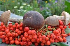 Cogumelos e cinza de montanha Imagem de Stock