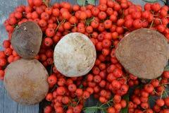 Cogumelos e cinza de montanha Imagem de Stock Royalty Free