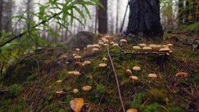 Cogumelos e musgo mágicos em Autumn Forest Wildlife chuvoso do norte de Rússia 4K, macro slowmotion video estoque