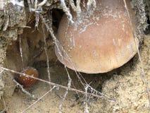 Cogumelos em Sandy Soil Fotos de Stock Royalty Free