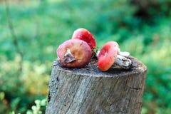 Cogumelos em um coto Fotos de Stock