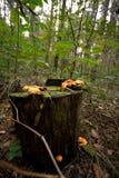 Cogumelos em um coto de árvore Imagem de Stock Royalty Free