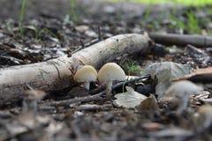 Cogumelos em um macro da floresta Imagens de Stock
