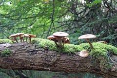 Cogumelos em um ramo do carvalho foto de stock