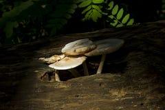 Cogumelos em um registro imagem de stock
