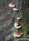 Cogumelos em uma árvore fotografia de stock royalty free
