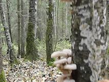 Cogumelos em uma árvore de vidoeiro na floresta do russo video estoque