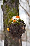 Cogumelos em uma árvore no inverno fotografia de stock