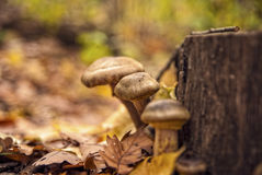 Cogumelos em uma floresta Imagens de Stock