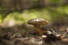 Cogumelos em uma floresta do outono em um dia ensolarado Imagem de Stock