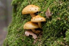 Cogumelos entre o musgo Imagem de Stock